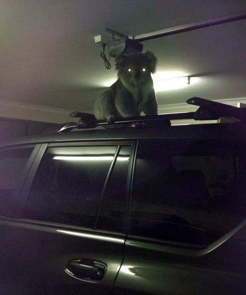 creepy koala on a car